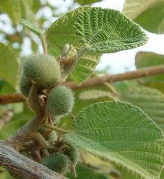 הפרי כדורי, שעיר, בעל 4 גלעינים. עלי-הכותרת צהובים בתחילה ומאדימים לאחר ההפרייה.