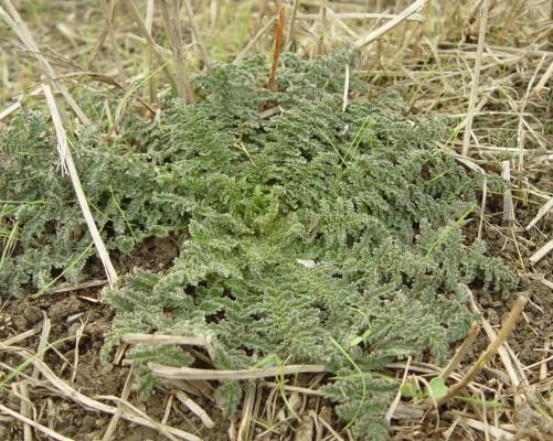 בוצין טברייני Verbascum tiberiadis Boiss.