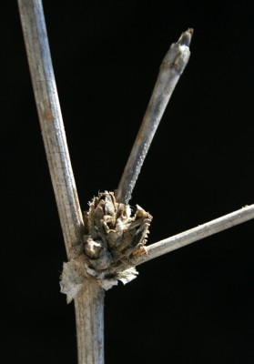 עולש מצוי Cichorium endivia L.