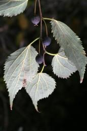 הפרי ענבה שחורה, נישא על עוקץ שאורכו פי 2 מהפרי.