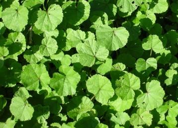 העלים בלתי מחולקים או מפורצים ל-7-5 אונות משוננות בשפתן.