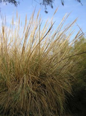 קנה-סוכר גבוה Saccharum ravennae (L.) Murray