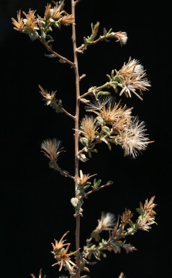 Chiliadenus iphionoides (Boiss. & Blanche) Brullo