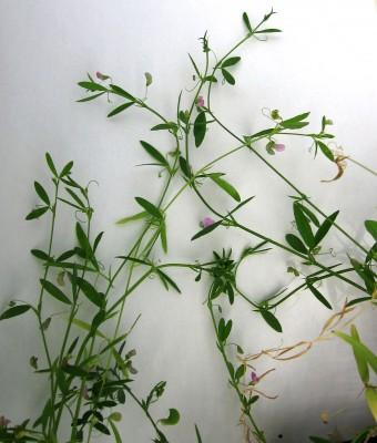 טופח עדשתי Lathyrus lentiformis Plitmann