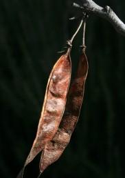 הפרי תרמיל שאינו נפתח; מופץ ברוחות חזקות, התרמיל מתפקד ככנף המסתובבת סביב ציר האורך.