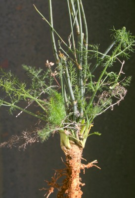שומר פשוט Foeniculum vulgare Mill.