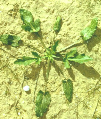 חרחבינה מכחילה Eryngium creticum Lam.