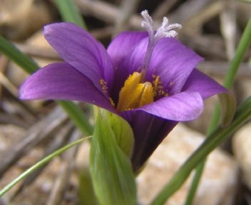 Romulea phoenicia Mouterde