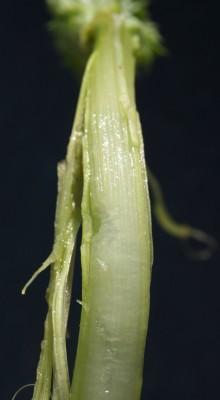 Silybum marianum (L.) Gaertn.
