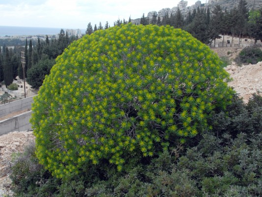 חלבלוב השיח Euphorbia dendroides L.
