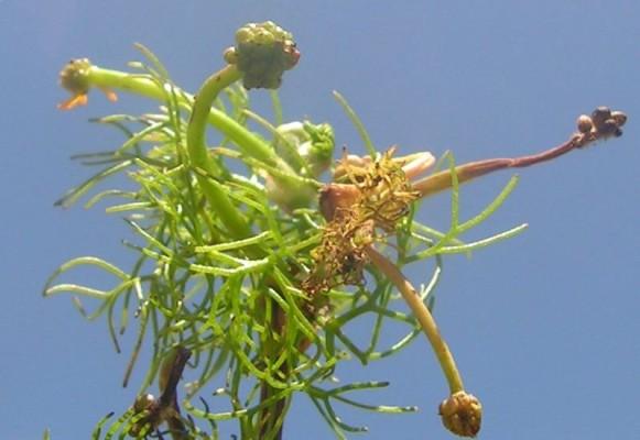 נורית כדורית Ranunculus sphaerospermus Boiss. & Blanche