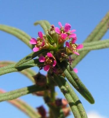 אמניה רבת-פרחים Ammannia prieureana Guill. & Perr.