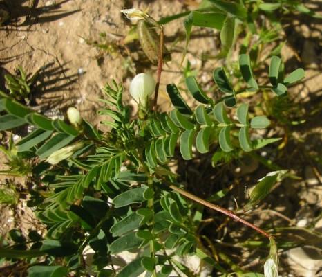 קדד מכופל Astragalus guttatus Banks & Sol.