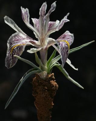 Iris edomensis Sealy