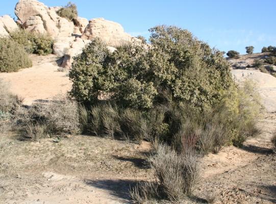 שבטן לבן Osyris alba L.