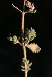 העלים דמויי יתד בבסיסם, אליפסיים או דמויי ביצה הפוכה.
