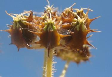 הגבעולים בעלי זיפים-מקורסים. הצלעות הראשוניותשל הפרי בעלות 3-1 (-7-4) קוצים המסתיימים בחוד ישר.