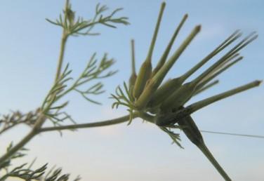חפיות-המעטפית של הסוככונים גזורות-מנוצות לאונות דמויות סרגל כמו העלים.