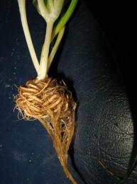 קבוצת השורשים העבים אשר עוטפים את הבצל מצד אחד.