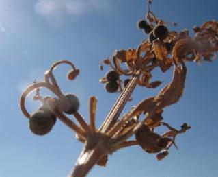 עוקצי הפירות כפופים כלפי מטה.