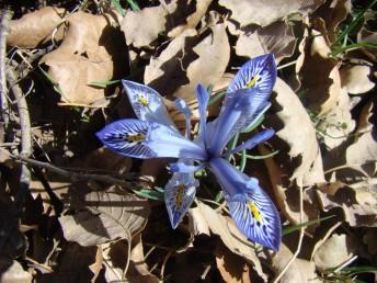 הפרח מנוקד בכחול, הפס הצהוב על עלה העטיף החיצוני לא מאד בולט ולא כרבולתי