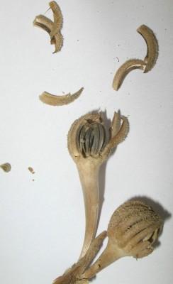 Hedypnois rhagadioloides (L.) F.W.Schmidt