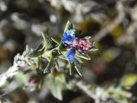 בר-עכנאי שיחני Echiochilon fruticosum Desf.
