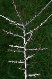 צמחים קוצניים הגדלים בחורשים ובגריגות של החבל הים-תיכוני, קירחים או מקריחים.