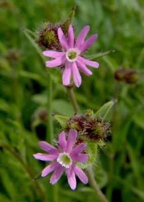 ציפורנית אלכסנדרונית Silene alexandrina (Asch.) Danin