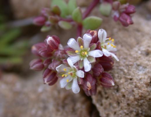 רב-פרי בשרני Polycarpon succulentum (Delile) J.Gay