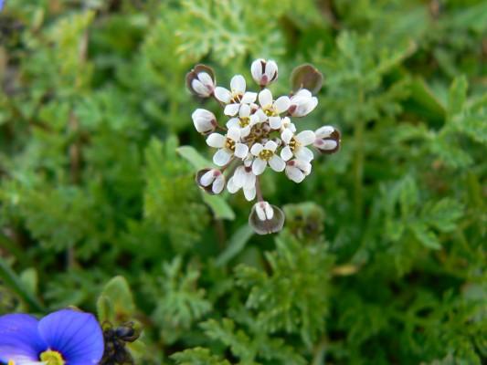 טיסדליה שסועה Teesdalia coronopifolia (J.P.Bergeret) Thell.
