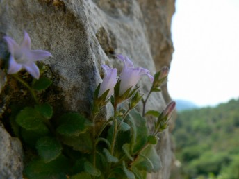 עשבים רב-שנתיים אפורים של סלעים בהרים גבוהים. הכותרת ארוכה פי 2 מהגביע.