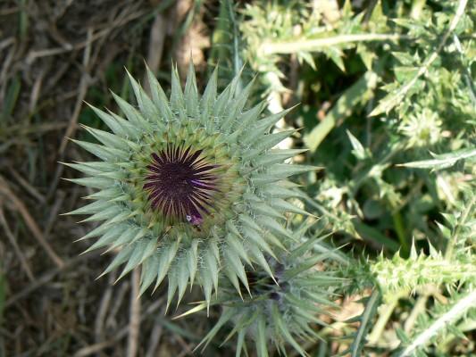 חוחן בלאנש Onopordum blancheanum (Eig) Danin
