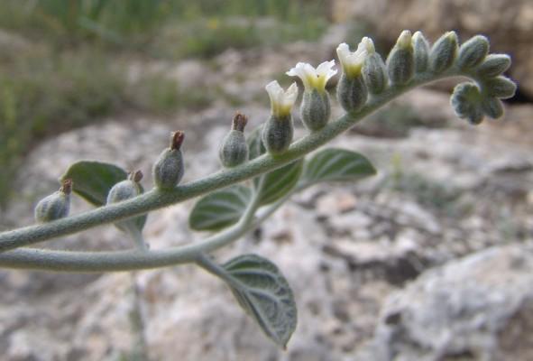 עוקץ-עקרב עגול-עלים Heliotropium rotundifolium Lehm.