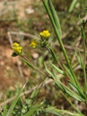 פשתנית קטנת-פרחים Linaria simplex Desf.