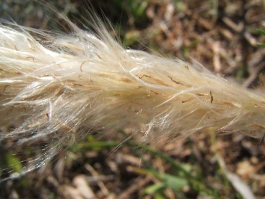 משיין גליליני Imperata cylindrica (L.) Raeusch.