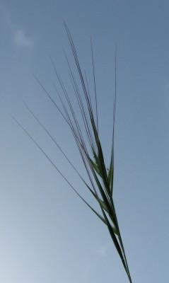 שעלב מקופח Vulpia fasciculata (Forssk.) Fritsch