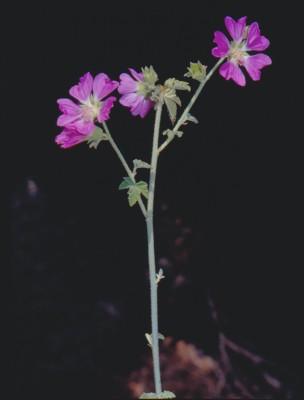 מעוג קיפח Lavatera bryoniifolia Mill.