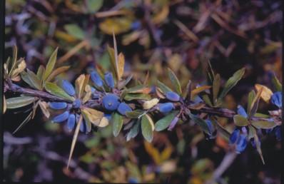 שיחים קוצניים, גובהם 1.5-1 מ'. העלים פשוטים או ערוכים בקבוצות בחיק הקוצים. הפרי ענבה מוארכת, סגול-שחור בהבשלה.