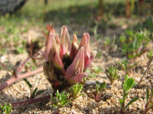 קדד בירותי Astragalus berytheus Boiss. & Blanche