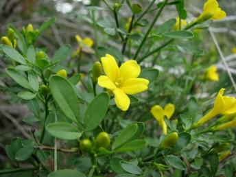 שיחים נמוכים, העלים נגדיים, כהים, תלתניים. הפרח בעל 2 אבקנים.