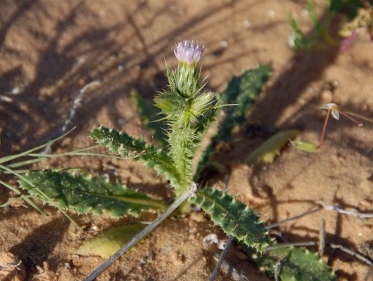 קרדה דרומית Carduus australis L.f.