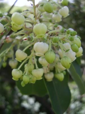 Arbutus andrachne L.