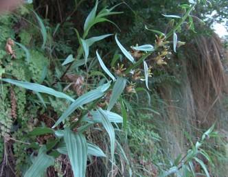 עשב רב-שנתי הגדל ליד מעיינות בעיקר בבקעת ים-המלח. עלי-הגבעול האמצעיים ארוכים פי 3 לפחות מרוחבם.
