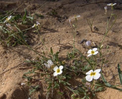 מרסיה ננסית Maresia pygmaea (Delile) O.E.Schulz