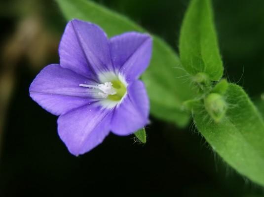 חבלבל עדין Convolvulus pentapetaloides L.