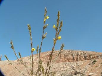 צמחים חד-שנתיים, גובהם 25-15 ס
