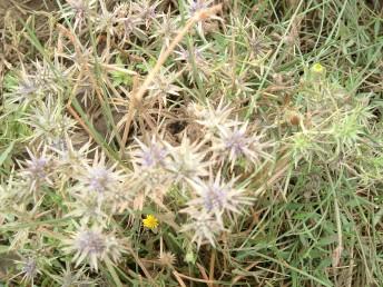 אורך החפיות הקוצניות המלוות את הפרחים כאורך עלי-המעטפת של הסוכך; על כן התפרחת נראית מרובת קוצים.