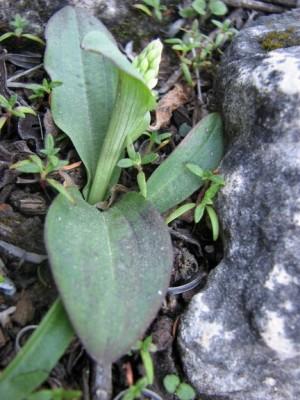 נאוטינאה תמימה Neotinea maculata (Desf.) Stearn