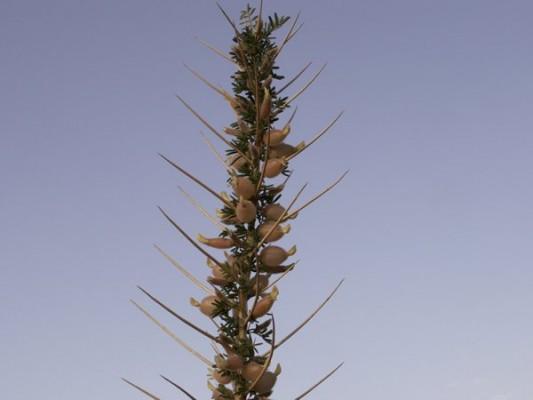 קדד משולחף Astragalus spinosus (Forssk.) Muschl.